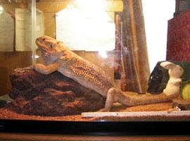 フトアゴトカゲです。爬虫類は結構はまります。
