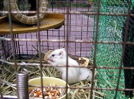 とっても珍しい、ホワイトシマリスです。 ハツカネズミとかではありません。。。